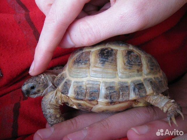 Разведение черепахи сухопутной в домашних условиях - 3dfuse.ru