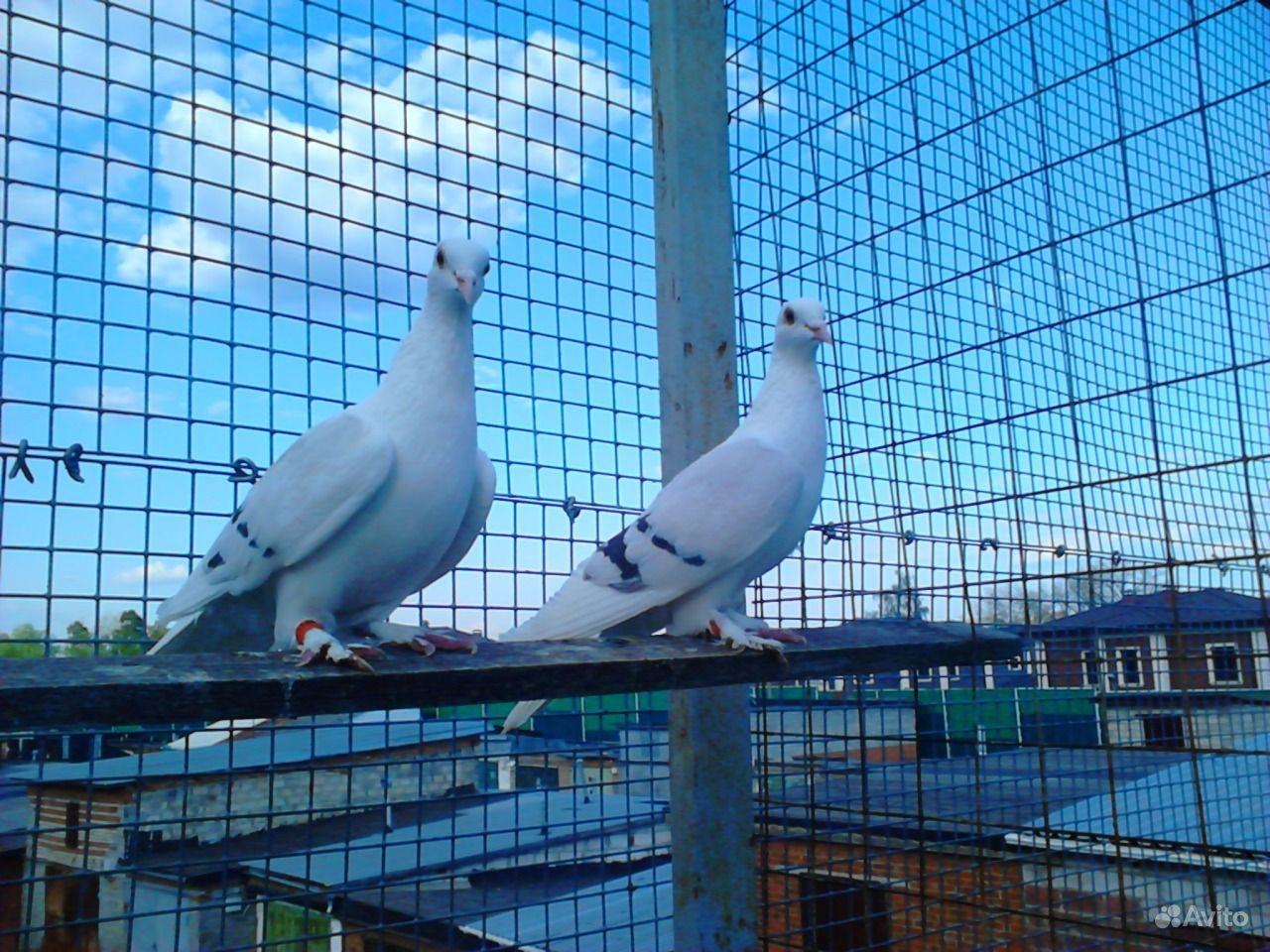 Чистые голуби