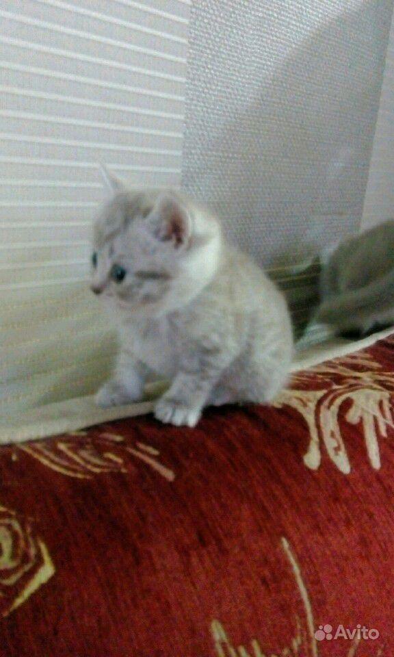 Британские котята в Саратове - фотография № 4