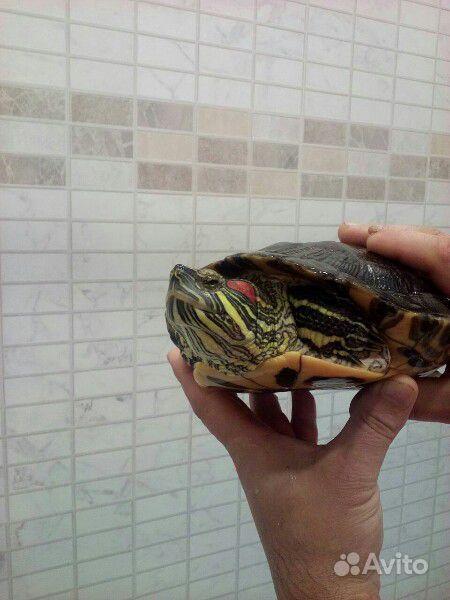 Аквариум с большой красноухой черепахой