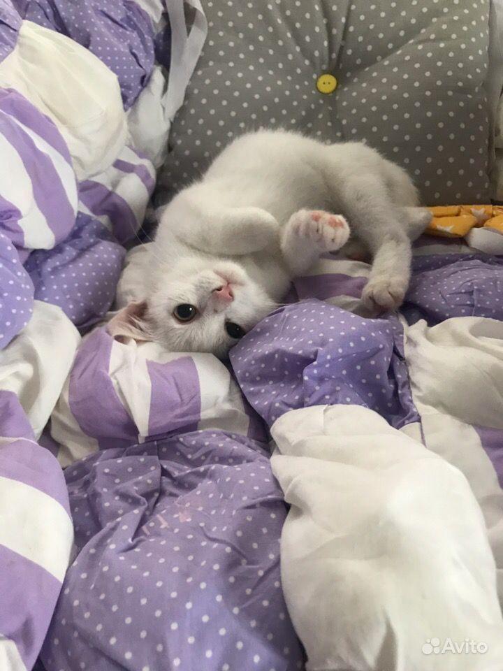 Котёнок Шотландский прямоухий