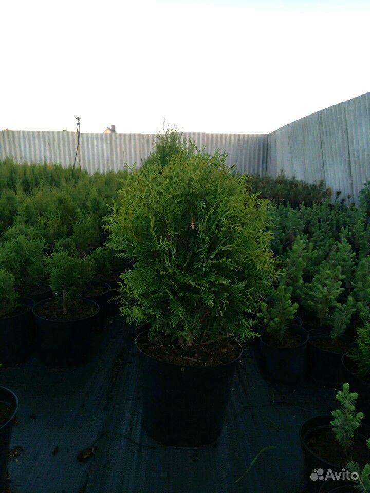Хвойные деревья купить на Зозу.ру - фотография № 2