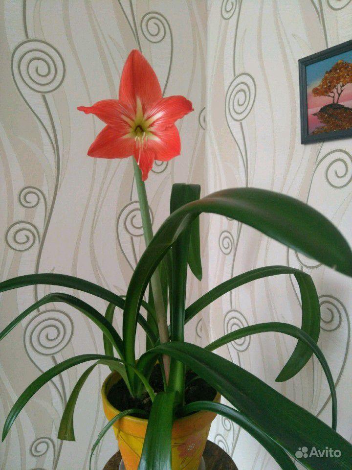 Амариллис Крупноцветковый купить на Зозу.ру - фотография № 3