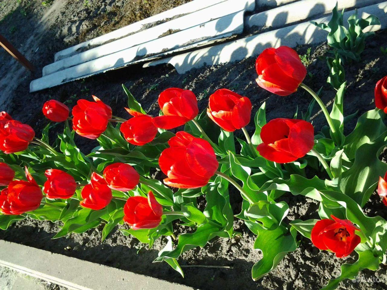 Продаю луковицы тюльпанов купить на Зозу.ру - фотография № 3