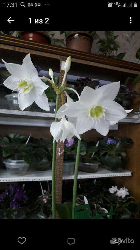 Комнатное растение.Эухарис (Амазонская лилия ) купить на Зозу.ру - фотография № 2