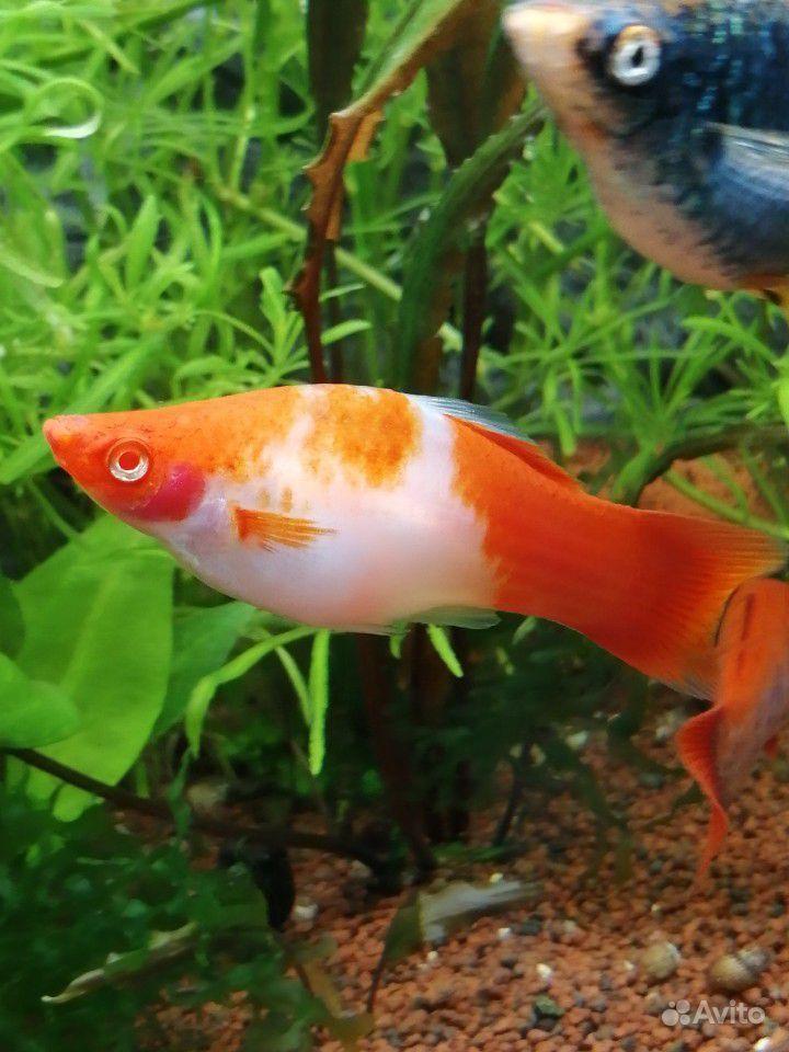Меченосцы аквариумные рыбки купить на Зозу.ру - фотография № 2