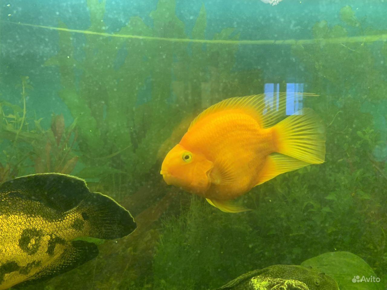 Рыба попугай купить на Зозу.ру - фотография № 1