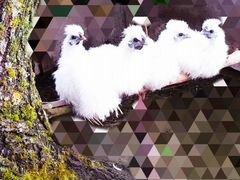 Продам молодых шёлковых китайских петушков