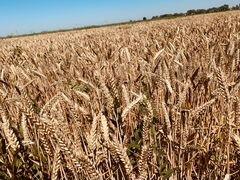 Пшеница 2020