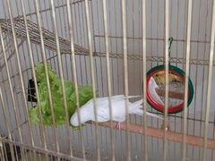 Попугай (самка)