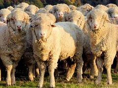 Овцы и бараны меринос