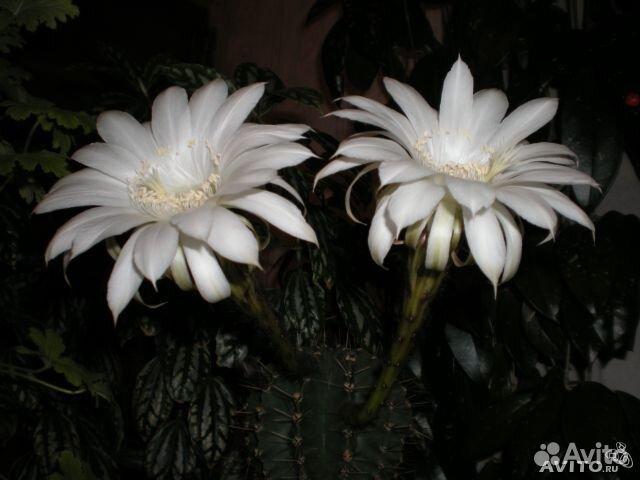 Цветущие кактусы комнатные