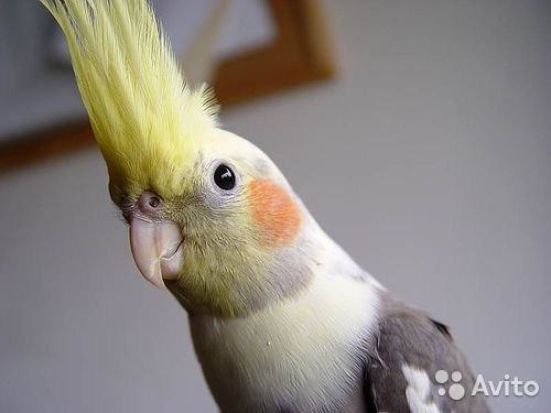 купить попугая корелла в одессе