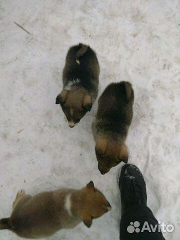 Продажа щенков лайки в нижегородской области