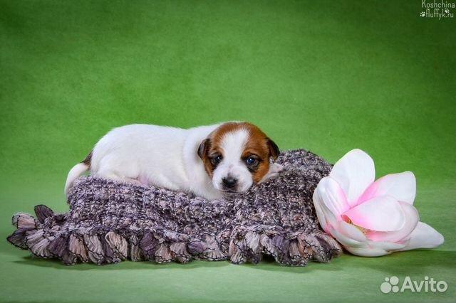 Джек Рассел терьера щенки купить на Зозу.ру - фотография № 8