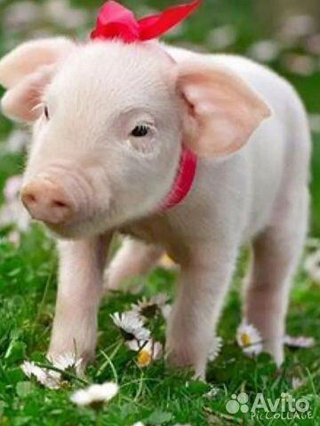 Мясо свинина  89065582714 купить 1