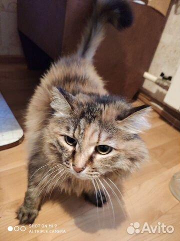 Сибирская кошка  89878041174 купить 1