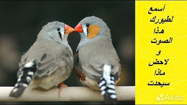 Амадины зебровые(экзотические птички) пара  89833534191 купить 1