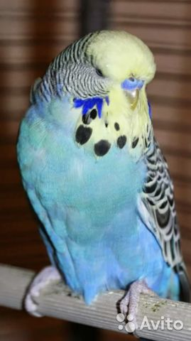 Волнистый попугай - мальчик  89276105259 купить 1