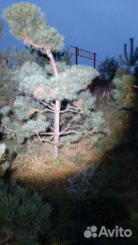 Ниваки/садовые бансаи,крупномеры сосны обыкновенно  89168064852 купить 4