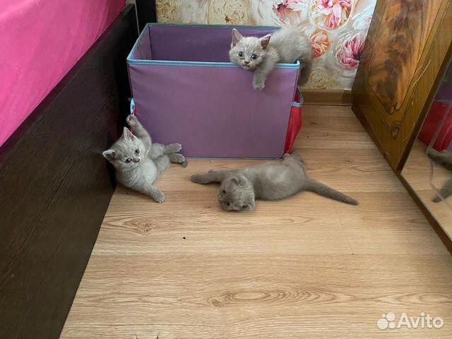 Шотландские котята  89235252330 купить 1