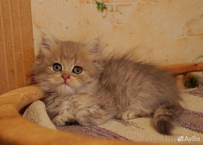 Астон - голубой золотистый затушеванный котик
