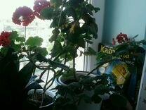 Герань — Растения в Екатеринбурге