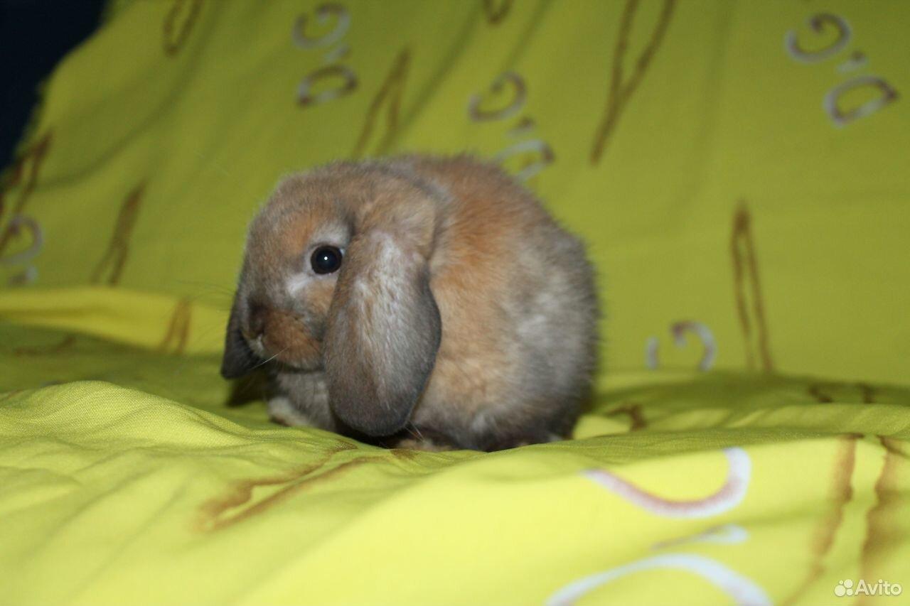 NHD мини вислоухие крольчата  89674908662 купить 1