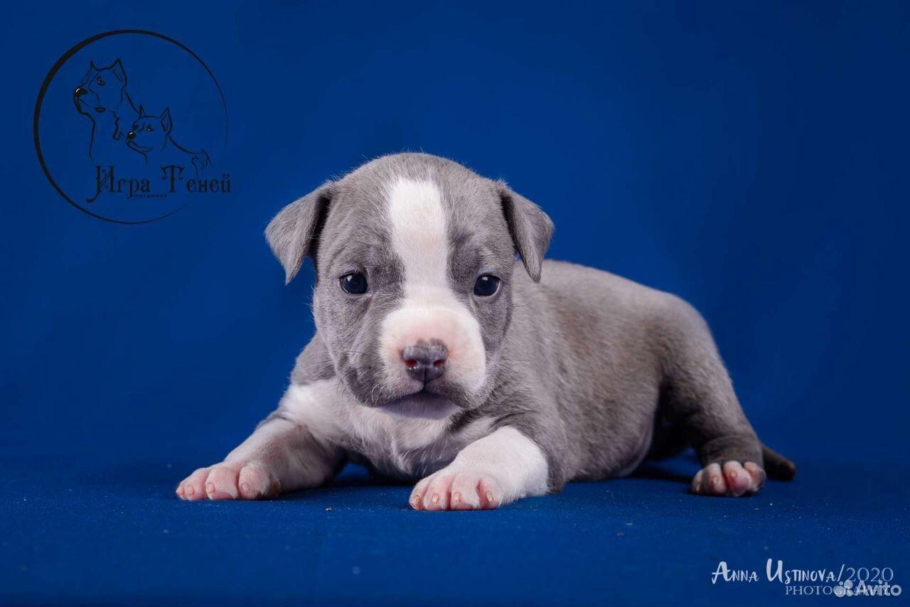 Puppies amstaff  89209620961 buy 2