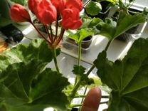 Пеларгония тюльпановидная Red-Pandora