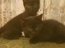 Котята от шотландской вислоухой кошки