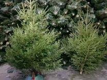 Ель сосна живая — Растения в Москве