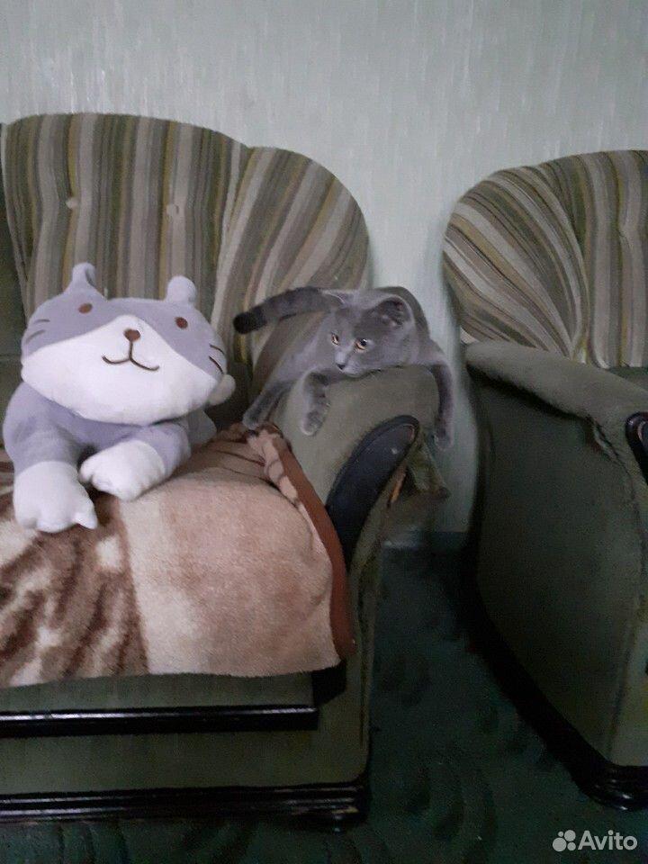 Чистокровные шотландские котята  89192207020 купить 6