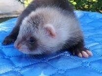 "Хорьки из питомника Fomina""s collection of ferrets"