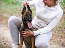 Кобель-щенок Малинуа (сын Чемпиона Мира по мондио)