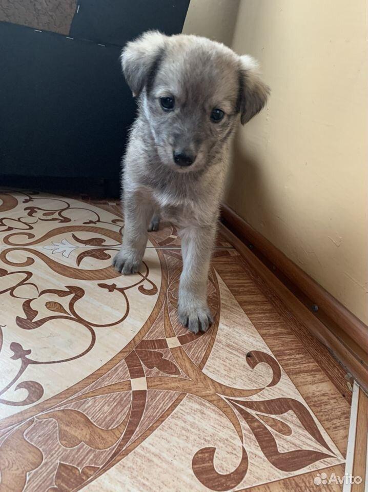 Собака  89236093734 купить 1