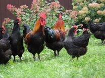 Куры, утки, гуси, яйцо инкубац.-е