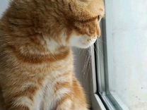 Вязка кот вислоухий