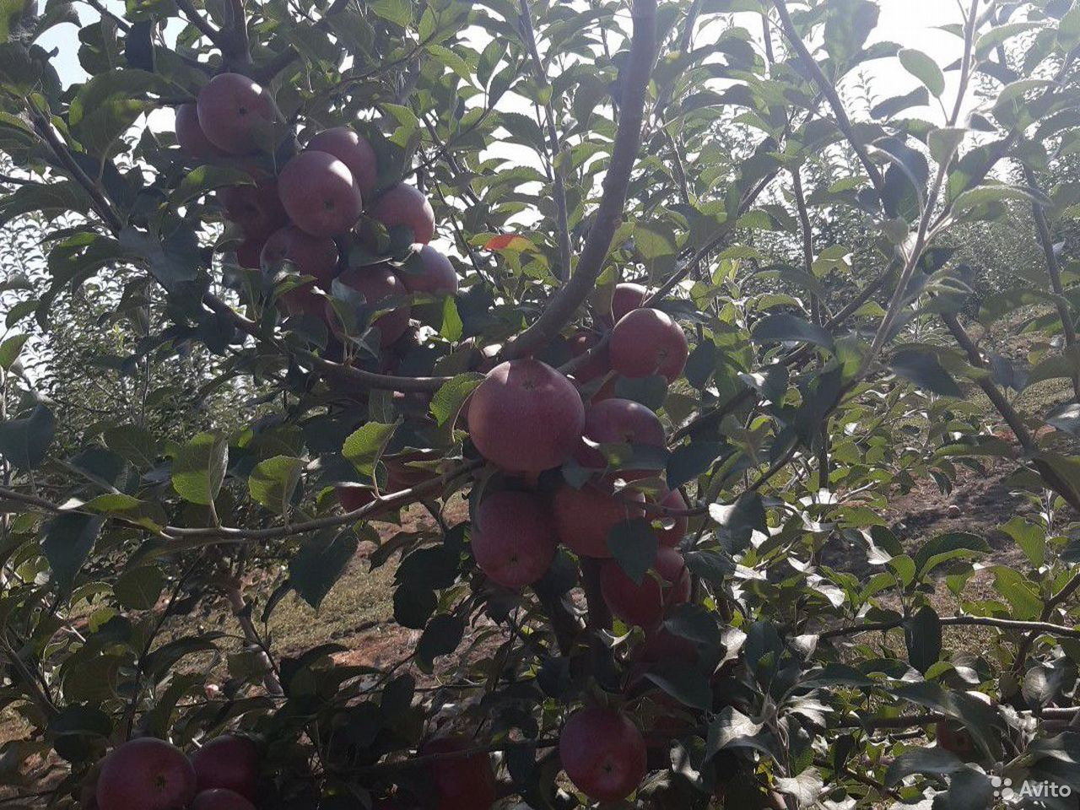 Яблоки  89640360900 купить 1